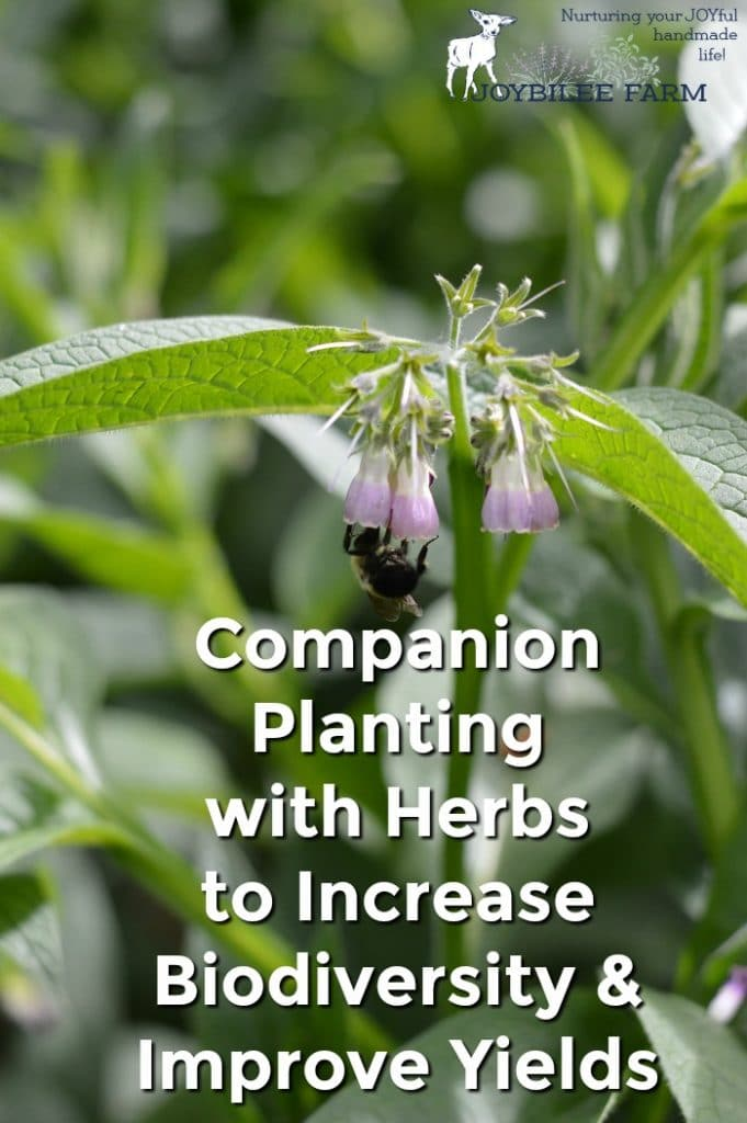 Comfrey plant pollinated by bumble bee.