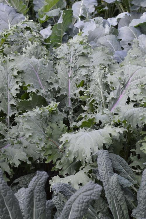 Kale plants in the garden