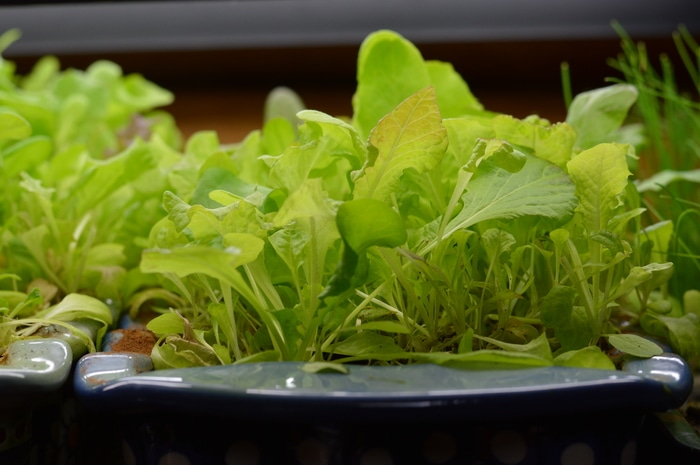 Growing lettuce indoors under lights. These plants are ready to harvest using the cut and come again method