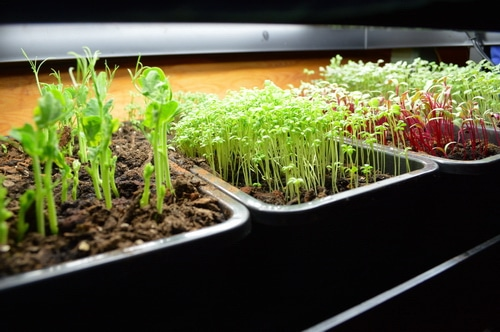 pea sprouts and micro greens under a grow lamp