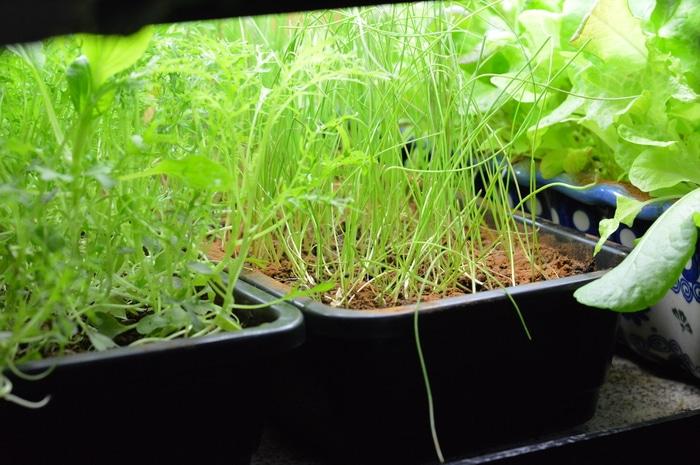 Onion and arugula seedlings