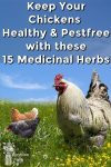 chickens in grass under a blue sky