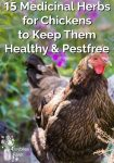 15 Medicinal Herbs for Chickens to Keep Them Healthy & Pestfree