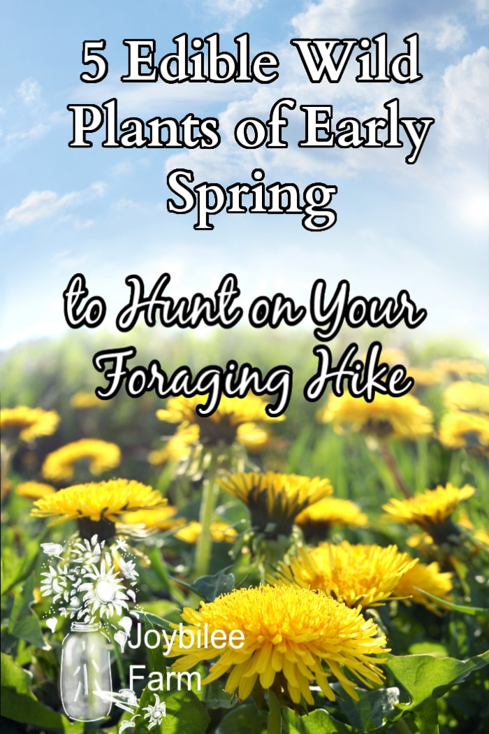 """clustered dandelion flowres under a blue sky with the text """"5 edible wild plants of early spring to hunt on your foraging hike."""""""