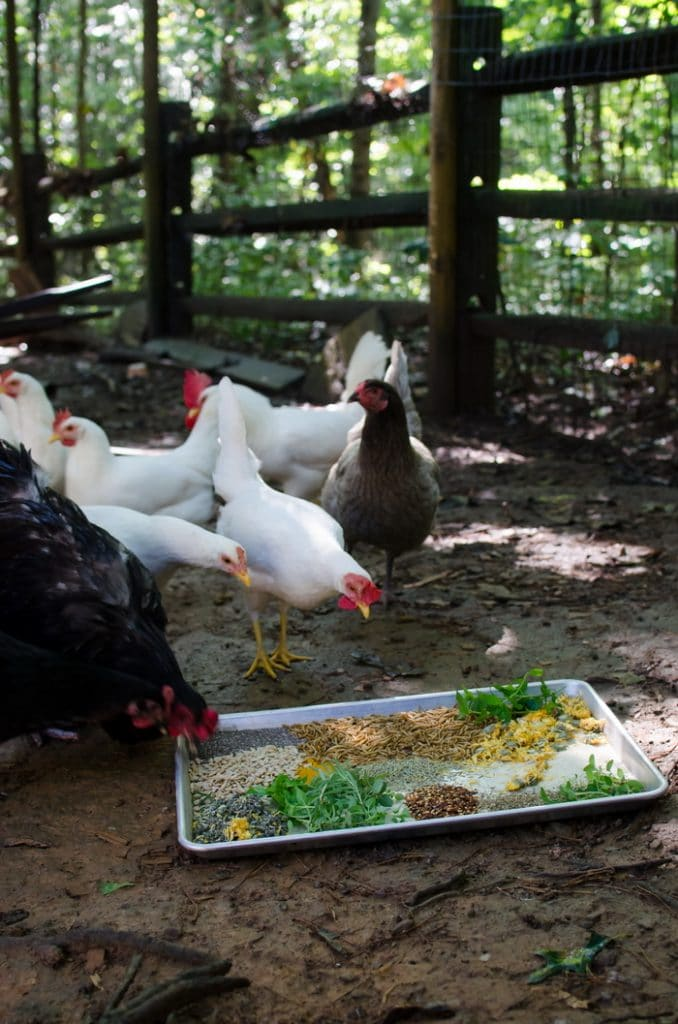 many chickens pecking at a tray of herbs and grains