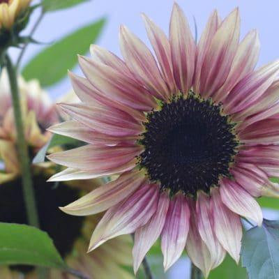 Strawberry Lemonade sunflower