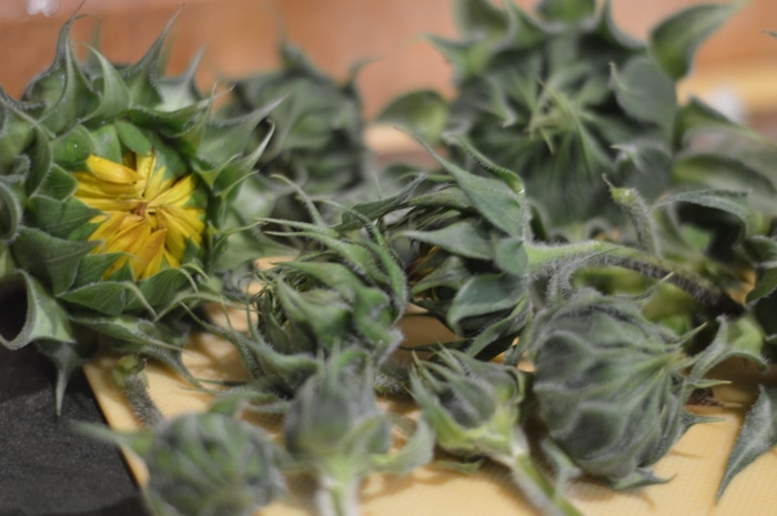 Harvested sunflower buds