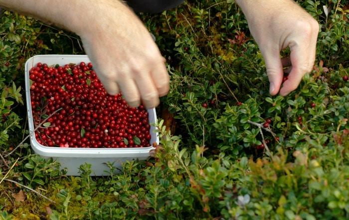 wild berries -- lingon berries