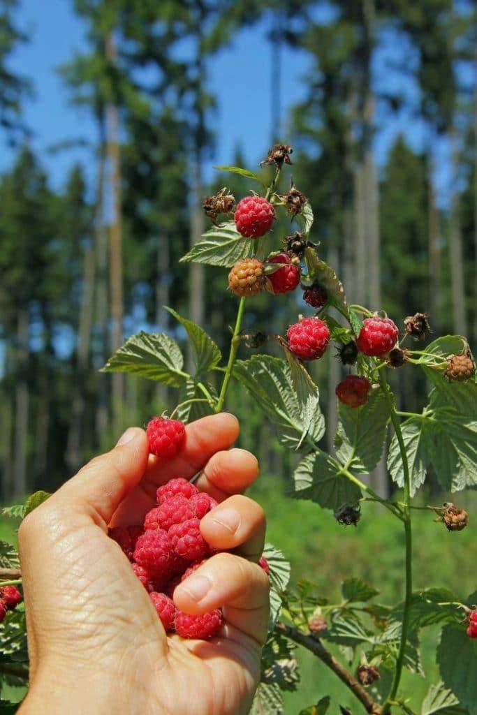 wild berries -- raspberries