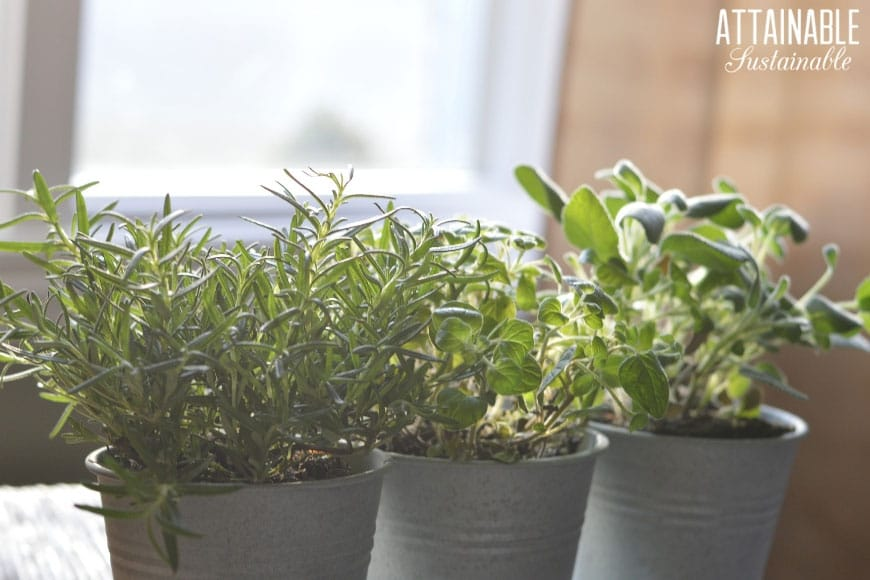 Herbs in tin buckets