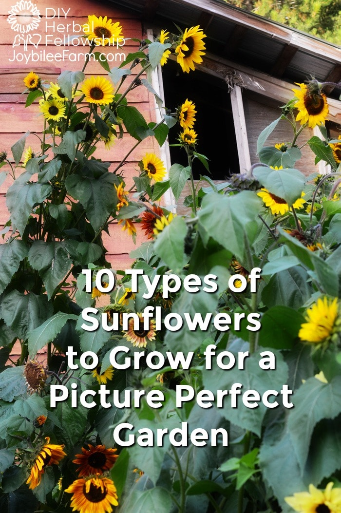 10 types of sunflowers for a picture perfect garden