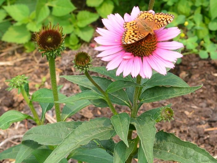 Echninacea flower with fritillary butterfly