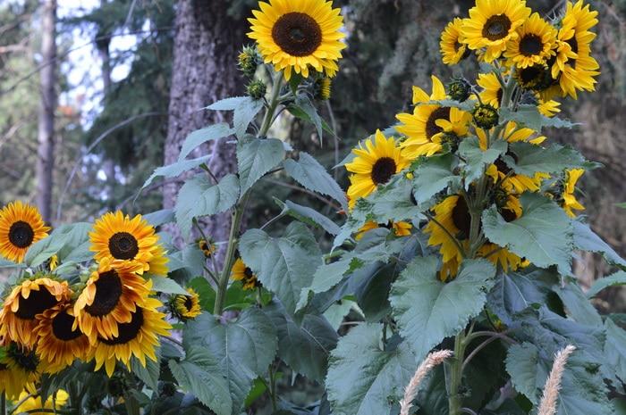 Branching sunflowers