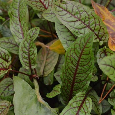 6 Perennial Vegetables to Grow in Zone 3 For the Earliest Spring Greens