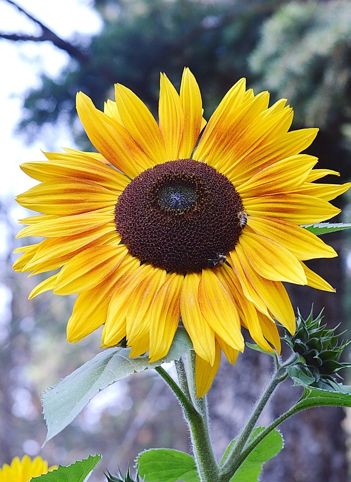 Branching sunflower with bees