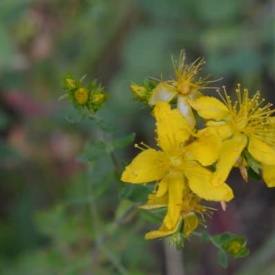 St Johns Wort Flower Tincture for the Winter Blues