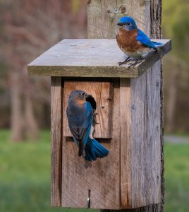 2 Bluebirds on a birdhouse