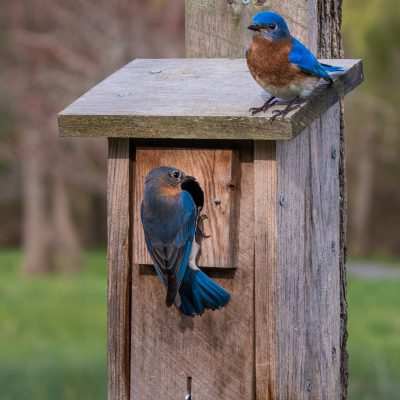 Build a Bluebird House and Reduce Insects