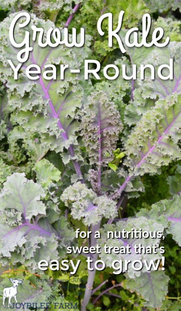 """purple veined kale leaves with text overlay """"grow kale year-round"""""""