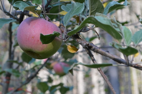 apple ripening on the tree