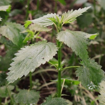 Stinging Nettle Remedies for Hayfever and Inflammation