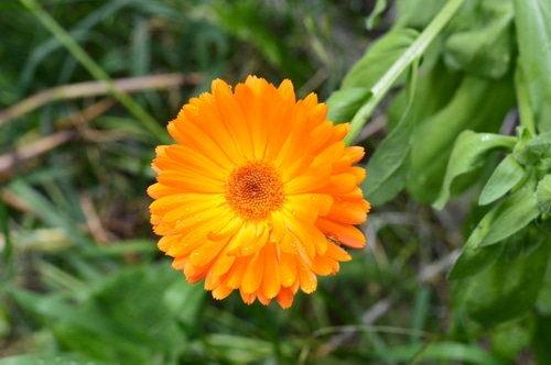 Yellow calendula flower