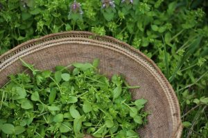 chickweed tips