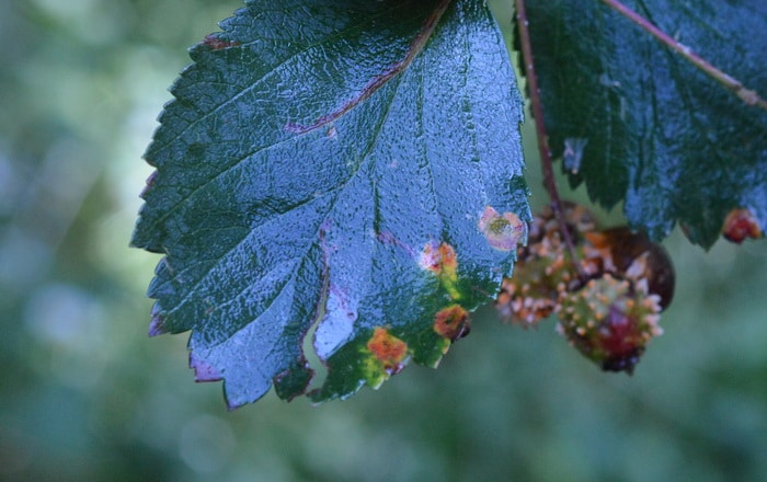 Hawthorn plant leaves with rust fungus