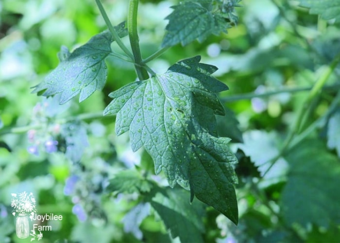 the catnip plant