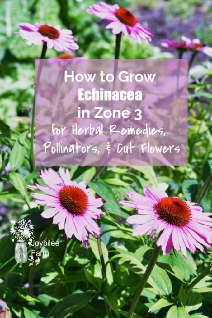 echinacea flowers in sunshine