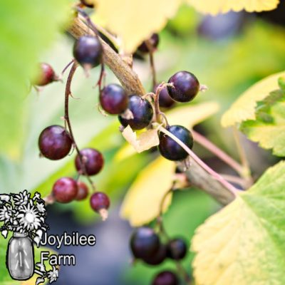 How to Grow Black Currants in Zone 3 for Delicious Berries