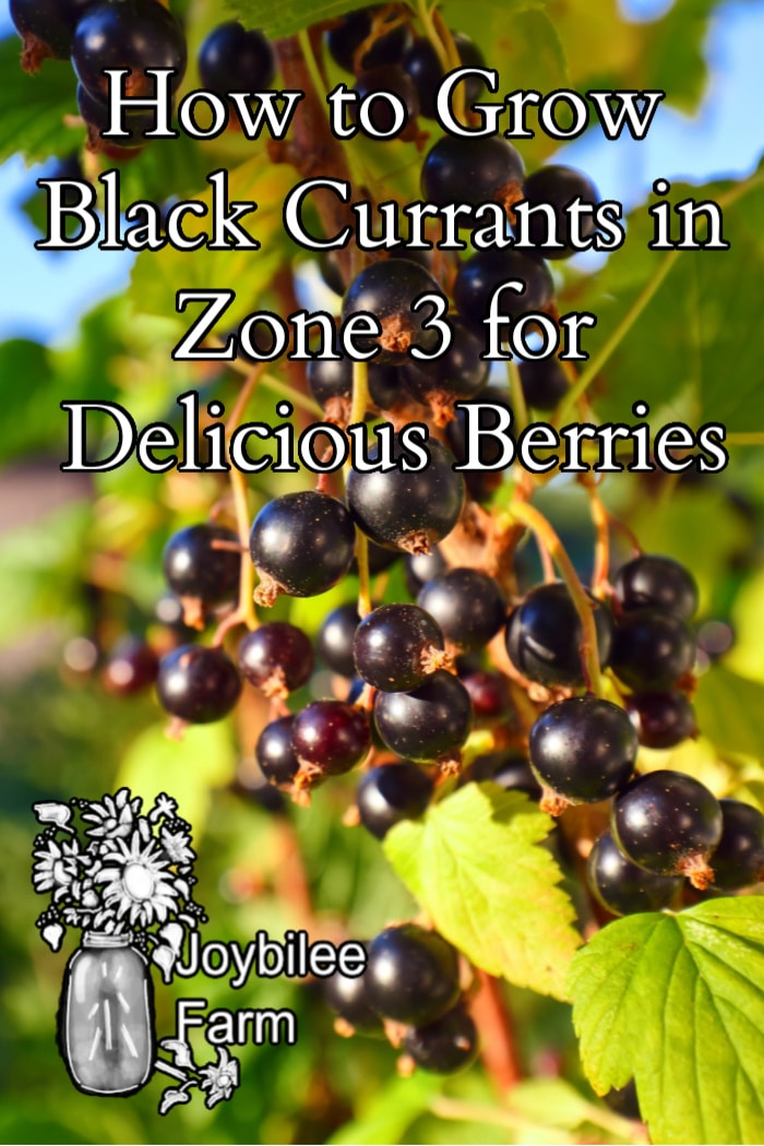 """black currants on a bush with sunlight with the text """"how to grow black currents in zone 3 for delicious berries"""""""