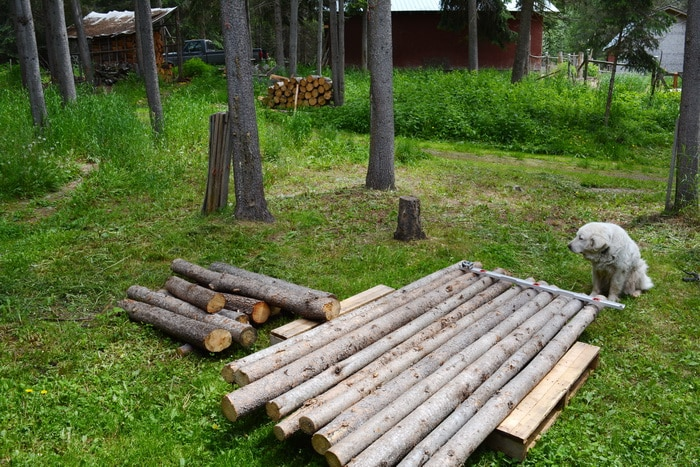 Lodge pole pine logs and dog