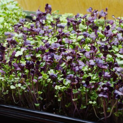 Grow Enough Greens in your Kitchen to Keep Your Salad Bowl Full, Even If You Don't Have a Garden