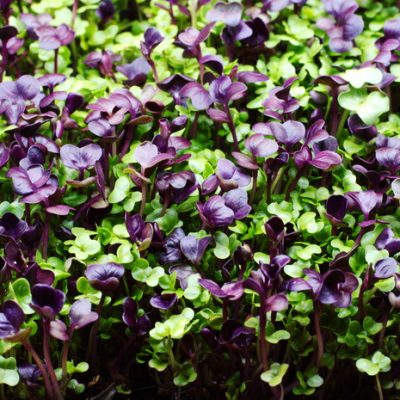 How to Grow Radish Microgreens Even if You Have a Black Thumb