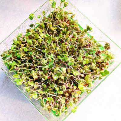 Growing Radish Sprouts Is Fast and Easy Even if You Have a Black Thumb
