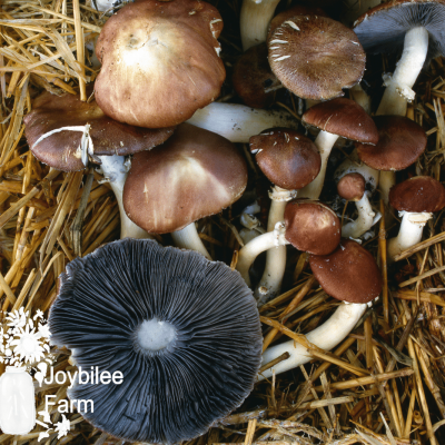 How to Grow Wine Cap Mushrooms and Boost Your Garden Yields