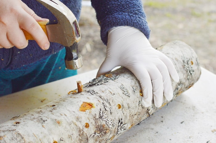 Placing a spawn plug in a drilled hole in an alder log for growing shiitake mushrooms at home
