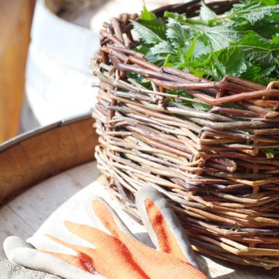 How to Grow and Use Urtica Dioica for Its SuperFood Benefits