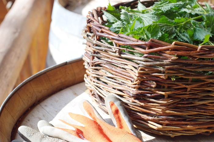 Urtica dioica or stinging nettles is a superfood or a weed depending on your perspective. Learn how to unlock its concentrated nutrition here and expand the ways you bring this nutritional powerhouse to the table or to your herbal apothecary.