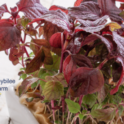 Growing Micro Herbs to Enjoy Fresh Herbs Year Round