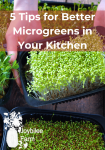 growing microgreens in a black tray